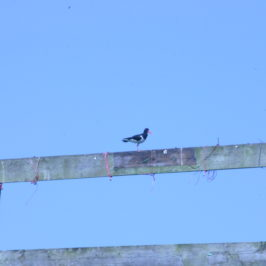 The oyster catcher (aka a plan for life )