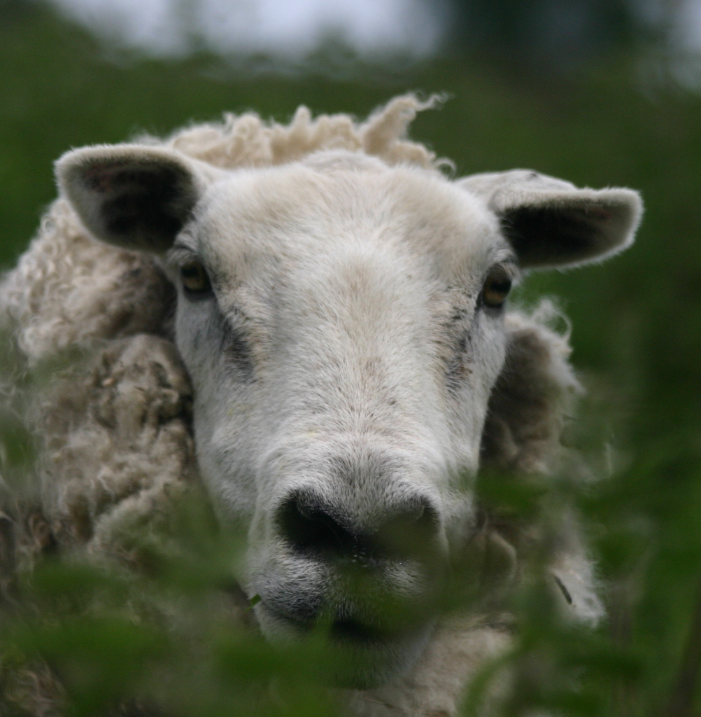 sheep's face