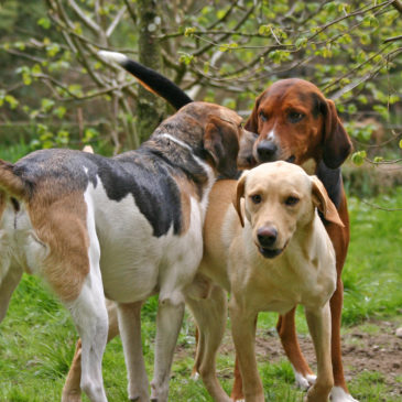 Trailhound, Hamiltonstovare and Labrador