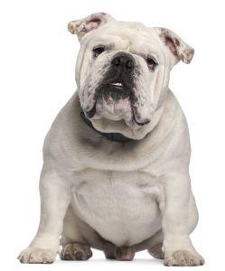 white english bulldog
