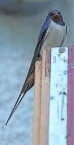 swallow 63