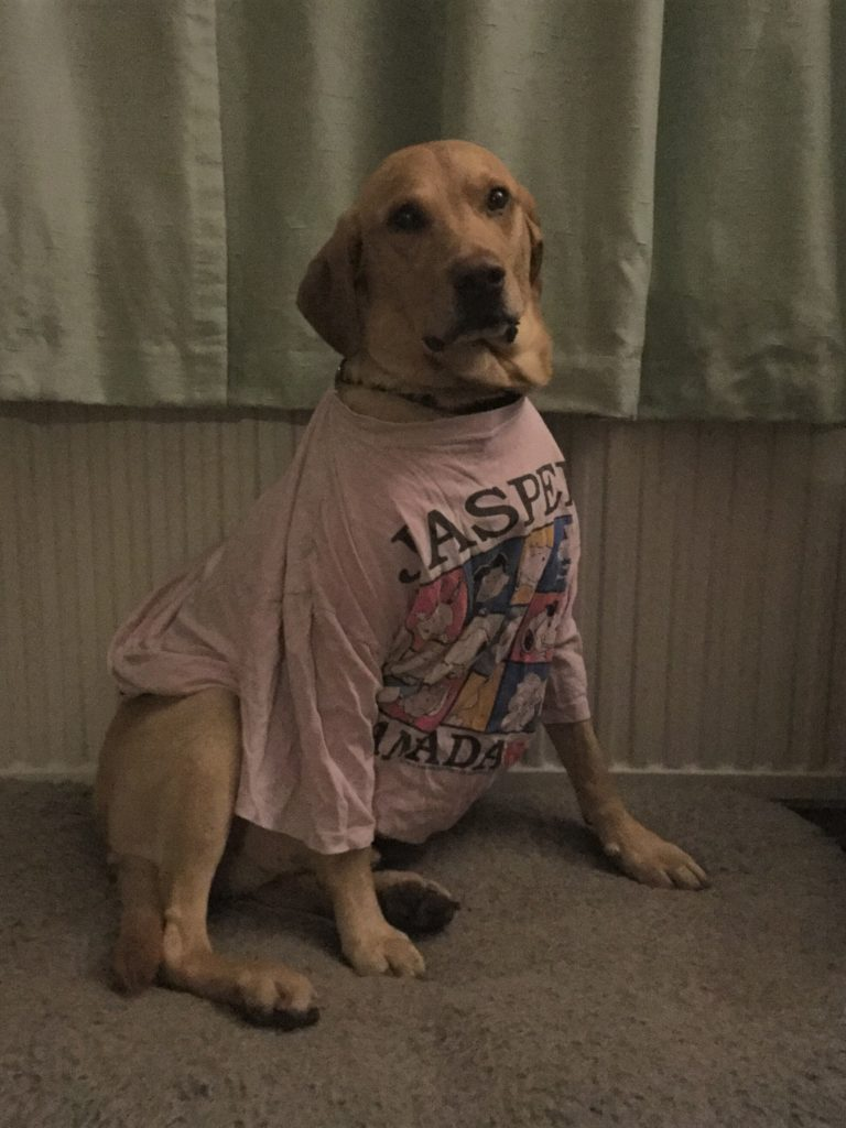 Dog in t-shirt, post operation
