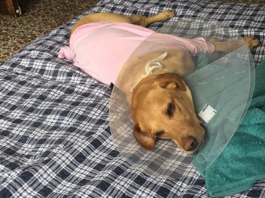dog recuperating from surgery
