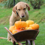 labrador collecting pumpkins