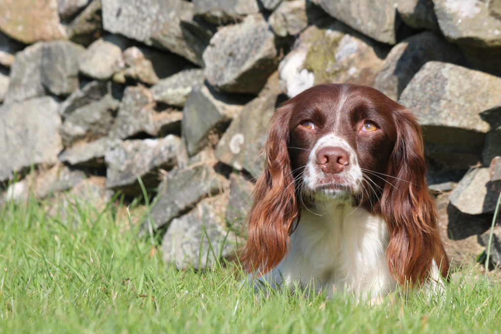 Disapproving look from a working spaniel