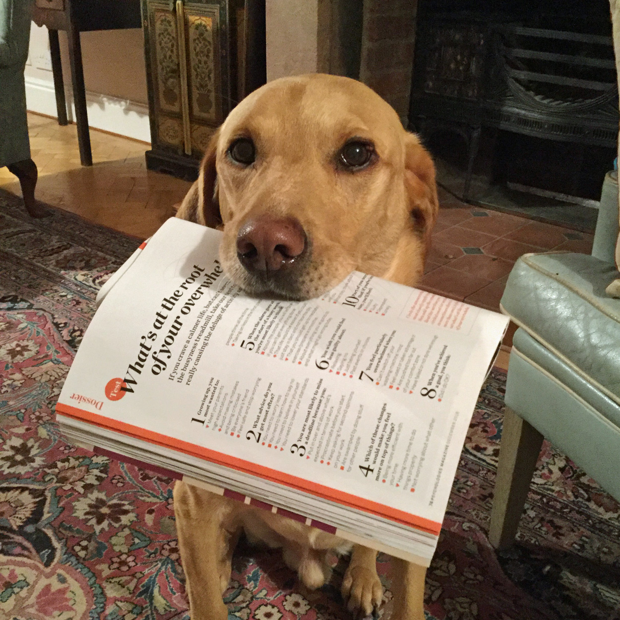 Labrador with copy of Psychologies Magazine in his mouth